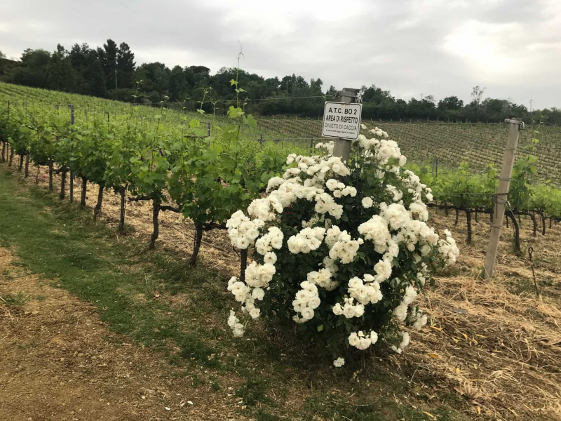 fiori in vigneto vini giovannini imola